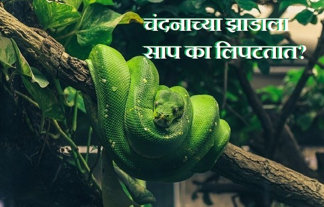 Why Snakes live on Sandalwood(chandan) Tree