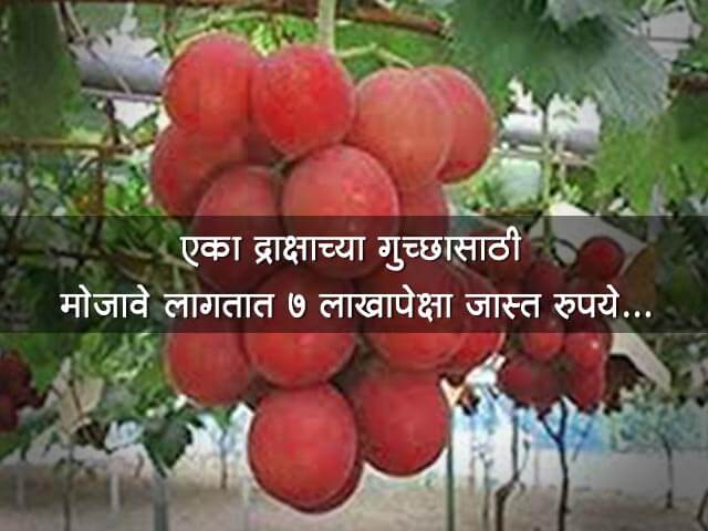 Most Expensive Grapes